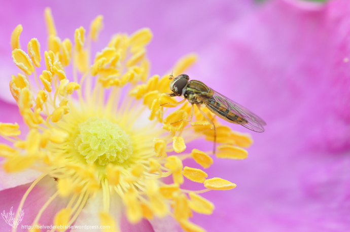 syrphid_fly_26
